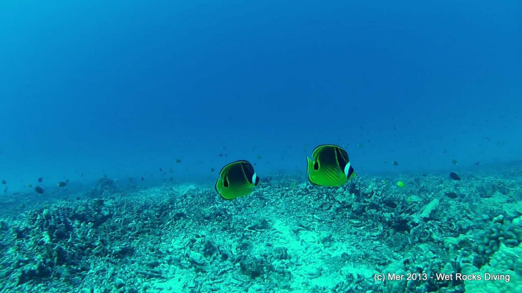 There were fish... (these are raccoon butterfly fish)